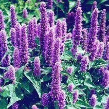 Benefits and Advantages of Hyssop - Know importance of the Hyssop | Beauty Care | Scoop.it