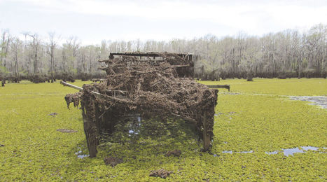 Biologists Battle Giant Salvinia Blocking Lake Access for Duck Hunters, Waterfowl | exTRA by the Trinity River Authority of Texas | Scoop.it