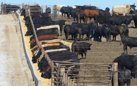 California targets cow gas, belching and manure as part of global warming fight | Climate Change & Water resources | Scoop.it