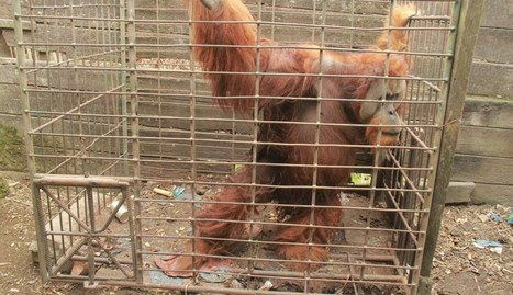 Orangutan Put In Tiny Cage As A Baby Grows Too Big To Get Out The Door | GarryRogers Biosphere News | Scoop.it