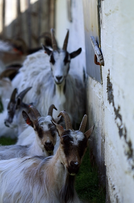 Save the Icelandic Goat From Extinction   Projects We Love   Scoop.it