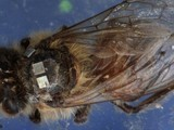 """Zombie"" Bees Electronically Enhanced to Help Solve Die-Off Mystery 