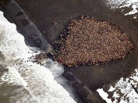Evidence of climate change: 35,000 walrus gather on north-west Alaska. | AP HUMAN GEOGRAPHY DIGITAL  STUDY: MIKE BUSARELLO | Scoop.it