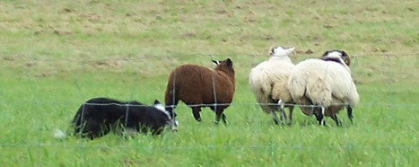 Welcome to the Leatherstocking Sheep Dog Trials! | Central New York Traveler | Scoop.it