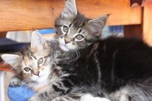 L'origine e la storia del leggendario gatto Maine Coon | AmicoMaineCoon.it | Scoop.it
