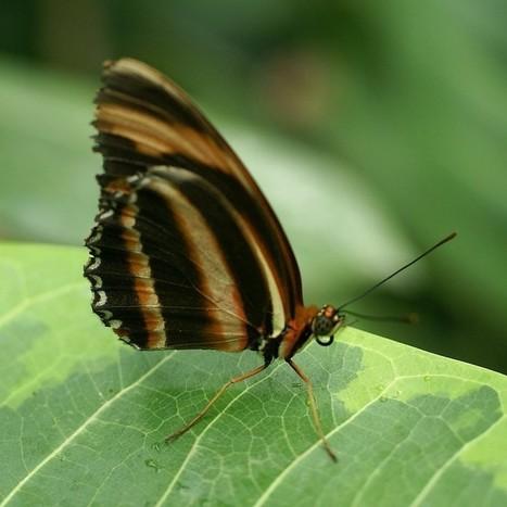 Photos de papillons exotiques : Dryadula phaetusa - Banded orange heliconian | Fauna Free Pics - Public Domain - Photos gratuites d'animaux | Scoop.it