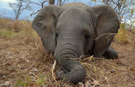 Elephant numbers plunge in Mozambique because of poachers | Wildlife Trafficking: Who Does it? Allows it? | Scoop.it