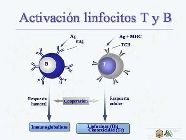 Diapositiva11.jpg (450x338 pixels)   Linfocitos: sus funciones, estructura y su relación con el sistema inmunologico   Scoop.it