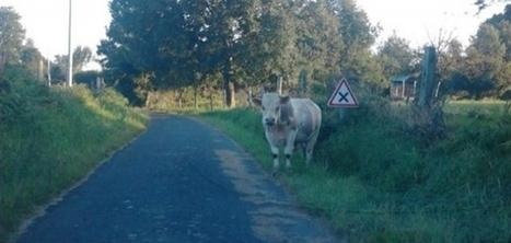 Insolite : un jeune taureau sur la chaussée ! | Actu Basse-Normandie (La Manche Libre) | Scoop.it