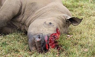 Seven rhinos killed by poachers in Kenya's bloodiest week   21st Century Sustainable Development   Scoop.it