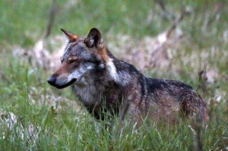 20 minutes - Le WWF fait recours contre le tir du loup - Suisse | Loup | Scoop.it