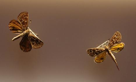 News/Magazine Article: Endangered moth translocated - ScienceAlert   Temperate Grassland   Scoop.it