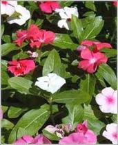 Vinca Rosea leaves: Vinca Rosea Leaves Exporters and Vinca Rosea Leaves Supliers India | jensonexports | Scoop.it