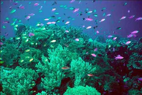 50-plus Corals in U.S. Waters Face Extinction by Century's End | In Deep Water | Scoop.it