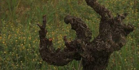 Saint-Georges-d'Orques : un vigneron et un scientifique font revivre un vin de 300 ans - France 3 Languedoc-Roussillon | Vins Sud de France | Scoop.it