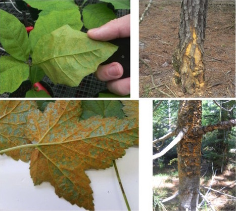 Forests: A Contrasting Tale of Two Rust Pathosystems (2014) | Plants and Microbes | Scoop.it