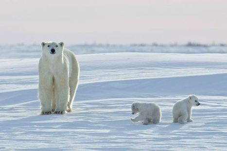 Annual Polar Bear Migration Under Way: How It Works and How Climate Change is Altering It | Science and Education | Scoop.it