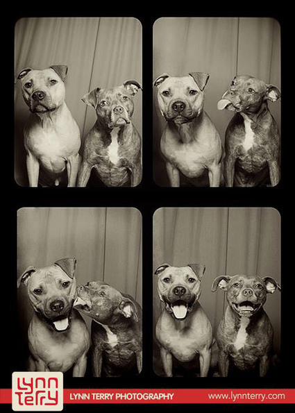 What Happens When You Put Two Pit Bulls In A Photo Booth | Too Stinkin' Cute | Scoop.it