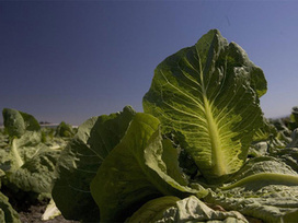 Arizona cold weather damaging winter lettuce crop | KNXV (TV-Phoenix) | CALS in the News | Scoop.it