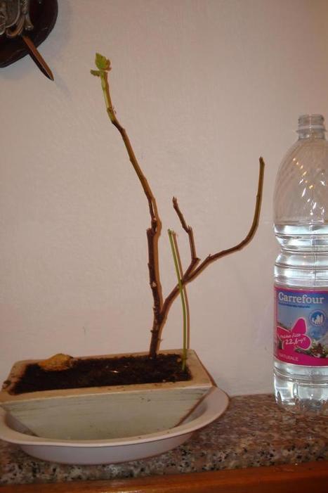 i miei bonsai chiedono aiuto!? - Forum Giardinaggio | Bonsais | Scoop.it