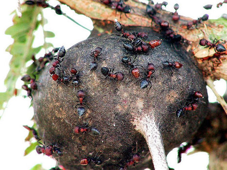 Invading ant threatens unique African ecosystem | All About Ants | Scoop.it
