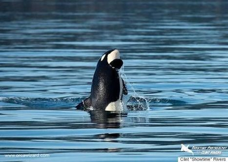 Baby Orca Has A Grand Time Off The B.C. Coast | Reflections on two islands | Scoop.it