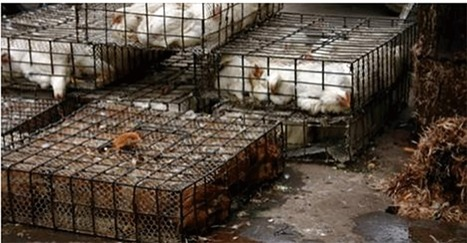 USDA on board with shipping U.S. chickens to China for processing, then re-entry to States for...   Business News & Finance   Scoop.it