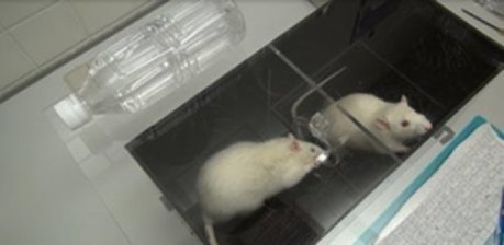 Rats will try to save other rats from drowning | Amazing Science | Scoop.it