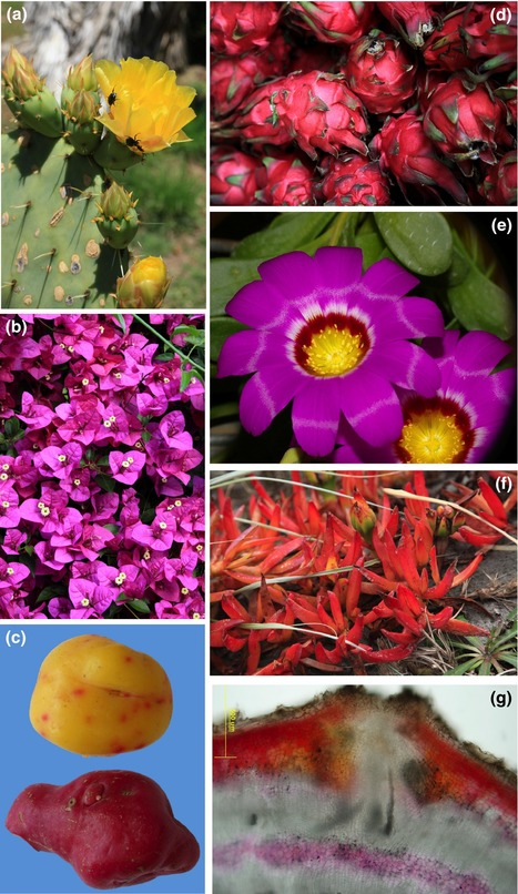The dope on l-DOPA formation for betalain pigments - Schwinn - 2016 - New Phytologist - Wiley Online Library | plant cell genetics | Scoop.it