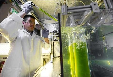 Biofuel Opportunity: Reviving Algae from the (Almost) Dead | Algae | Scoop.it