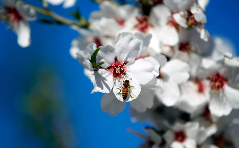 Why Disappearing Bees Mean You'll Pay More for Almonds / Pourquoi vous pourriez payer vos amandes plus cher | EntomoNews | Scoop.it