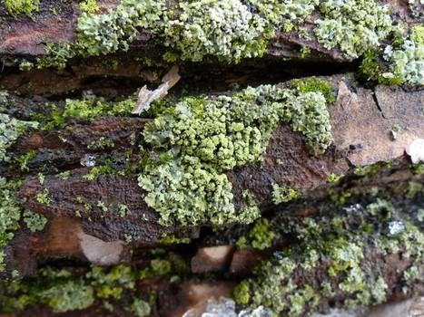 Photo de Lichen : Parméliopse ambiguë - Parmeliopsis ambigua - Green starburst lichen | Faaxaal Forum Photos gratuite Faune et Flore | Scoop.it