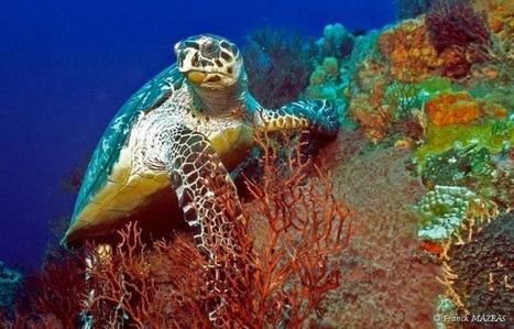 Ils veulent draguer les coraux | Territoires durables | Scoop.it