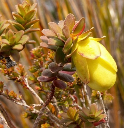 Stirling Range flora nears extinction | Australian Plants on the Web | Scoop.it