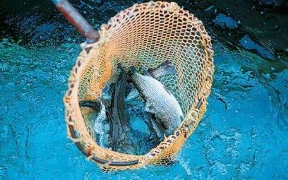 Σολομοί - Πέστροφες Καστορείου -  Tι είναι αυτό που κάνει αυτά τα ψάρια τόσο ιδιαίτερα; «Tα πεντακάθαρα νερά του Tαϋγέτου, αλλά και το μεράκι. H ίδια τέχνη που ακολουθούμε εδώ και 100 χρόνια».ethno...   Καστόρειο - Λακωνίας - News   Scoop.it