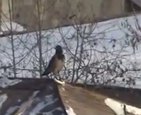Science Can Neither Explain Nor Deny the Awesomeness of This Sledding Crow | Spontaneous Smiley | Scoop.it