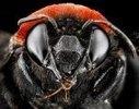 Macro photo des divers espèces d'abeilles aux Etats-Unis (galerie ... | Jaclen 's photographie | Scoop.it