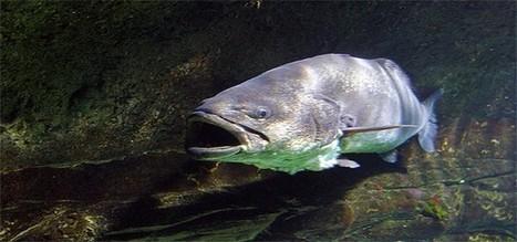 Le maigre Argyrosomus regius-Ma boite à pêche   w3p-annuaire.com   Scoop.it