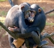 Chimpanzees and yawn contagion - Lund University | Empathy and Animals | Scoop.it