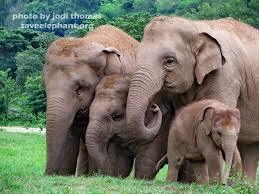 Elephant Societies.  The most closely-knit families of any animal | Biodiversity IS Life  – #Conservation #Ecosystems #Wildlife #Rivers #Forests #Environment | Scoop.it