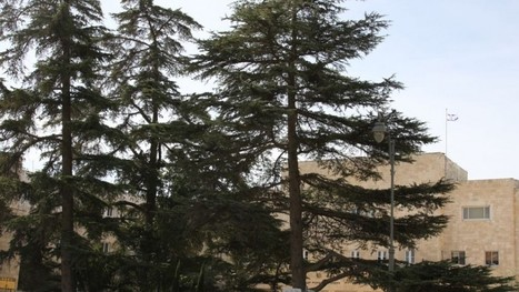 Rooted in Israel's history, five remarkable trees | Jewish Education Around the World | Scoop.it