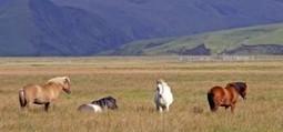 Jours de fête du cheval Islandais les 5, 6 et 7 juillet 2013 | Equum.fr | Scoop.it