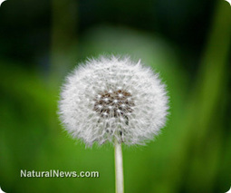 Dandelion has unsuspected health benefits such as inhibiting cancer cell growth | Da Vinci Recall | Scoop.it