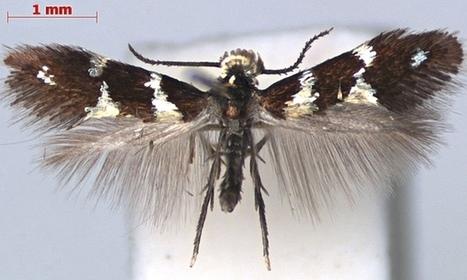 Une nouvelle espèce pour la nature (et pour la vigne...) : Antispila oinophylla | EntomoNews | Scoop.it