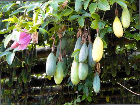 Bananadella - Babylonstoren Blog   edible landscaping   Scoop.it