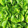 Lettuce: Jericho | Simply Grow Great Food | Scoop.it