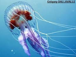 Cet été, combattez les méduses... ou mangez-les !   méduses   Scoop.it