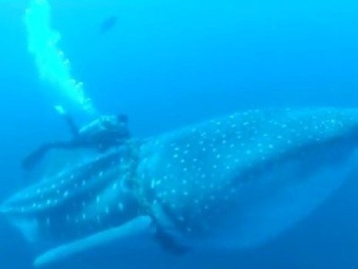 Divers Save Whale Shark | Physical Education NCEA Level 3 | Scoop.it
