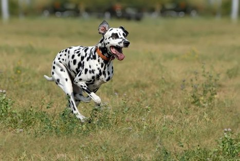 Top 10 Fastest Dog Breeds in the World - Top10HQ | Dog Lovers | Scoop.it