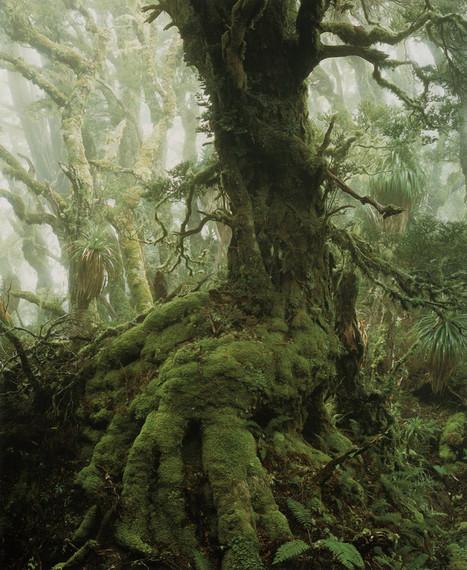 Myrtle tree in rainforest at Mount Anne, southwest Tasmania | Harmony Nature | Scoop.it